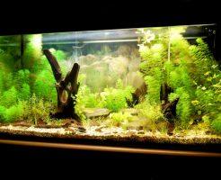 熱帯魚 飼育 水草 タニシ