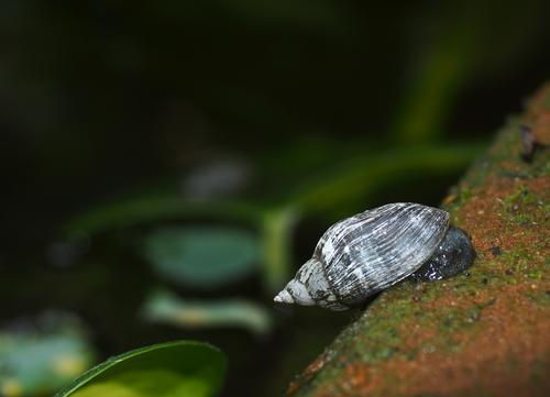 タニシ 餌 水草 メダカ 金魚