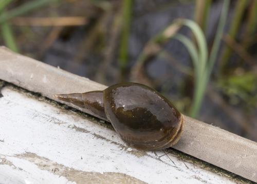 タニシ 飼育 寄生虫 メダカ 金魚