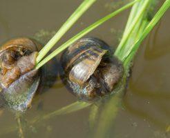 タニシ 寄生虫 緑 水槽