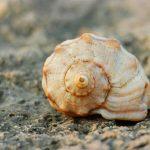 タニシ似のメダカのタンクメイト、石巻貝!