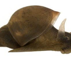タニシ 殻 苔