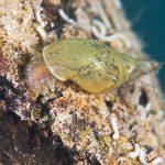 タニシの貝殻が溶けるのはなぜ?
