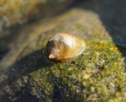 石巻貝 タニシ コケ